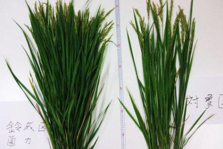 米(水稲)の無肥料栽培とサンビオ栽培との比較