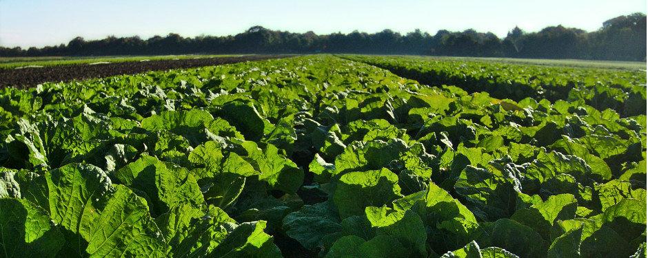 農家・農業法人の方へ キャベツ畑