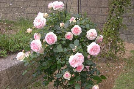 バラ露地栽培(家庭菜園) 美しい大きな花をつぎつぎと咲かせよう