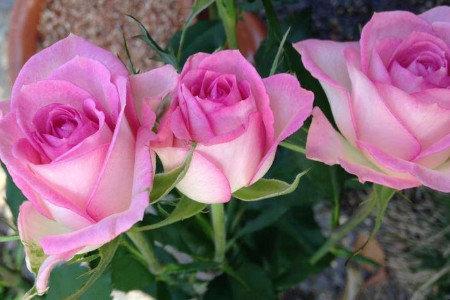 バラ温室栽培 収量増加、品質向上