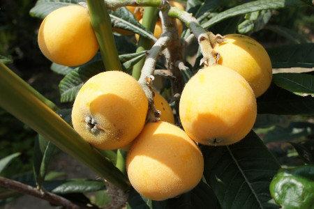 ビワ(枇杷) 収量増加(増収)、樹勢回復、食味向上(糖度・酸度)