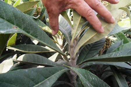 ビワ(枇杷) 減農薬栽培にお勧め資材