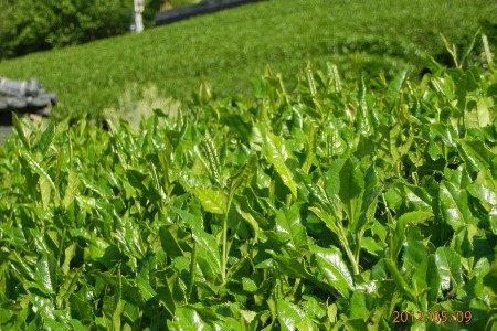 お茶 健全育成、発根促進、収量増加(増収)、土壌病害対策