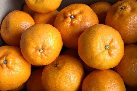 中晩柑(柑橘) 初秋肥(8-9月) 糖度向上、食味向上、着色促進