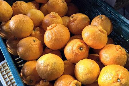 中晩柑(柑橘) 夏肥(6月上旬) 隔年結果防止、糖度向上