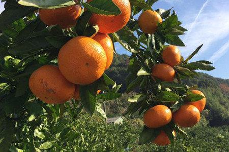 中晩柑(柑橘)春肥(4月) 隔年結果防止、収量増加(増収)