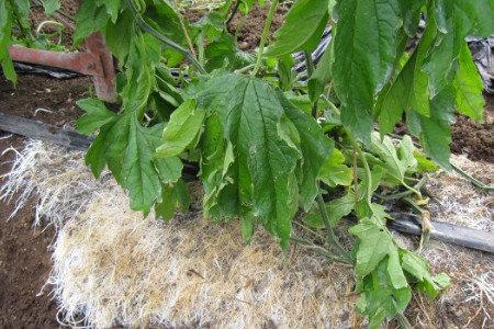 ゴーヤー活着促進、発根促進・土壌改善(健全育成、土壌病害対策)