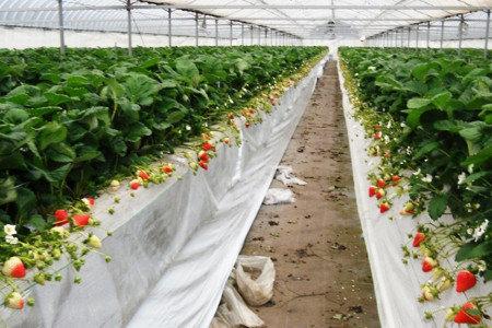 イチゴの育苗 強い苗づくり 炭疽病(タンソ病)対策