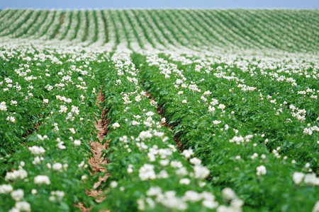 馬鈴薯健全育成、発根促進、収量増加(増収)、果肉充実