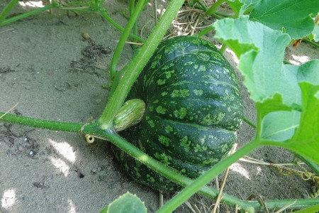 カボチャ(南瓜) 健全育苗、活着促進、発根促進・土壌改善