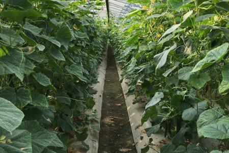 キュウリ(胡瓜) 活着促進、発根促進・土壌改善(健全育成、土壌病害対策)
