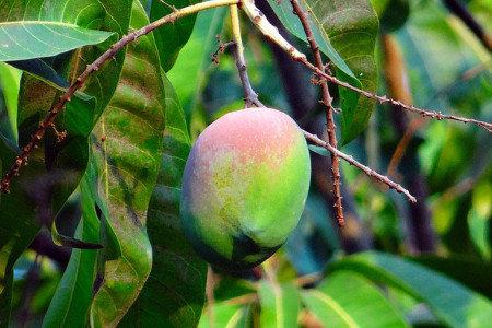 マンゴー 減農薬栽培にお勧め資材
