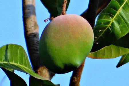 マンゴー 収量増加(増収)、樹勢回復、食味向上(糖度・酸度)