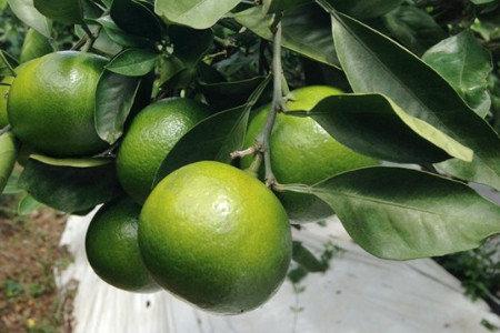 温州みかん(柑橘) 秋肥(10-11月) 隔年結果防止