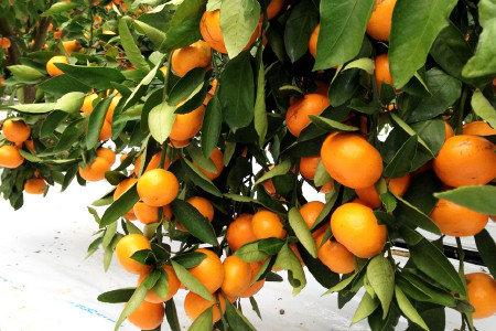 温州みかん(柑橘) 緑化促進、生理落果防止