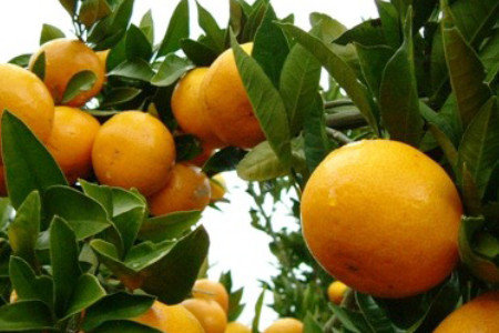 温州みかん(柑橘) 夏肥(6月上旬) 隔年結果防止、糖度向上