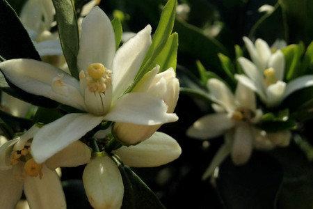 温州みかん(柑橘) 冬期葉面散布 樹勢回復、花芽充実