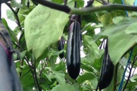 ナス(茄子)定植後の管理 栄養生長、発根促進、成り疲れ防止、収量増加(増収)、葉カビ・灰色カビ対策