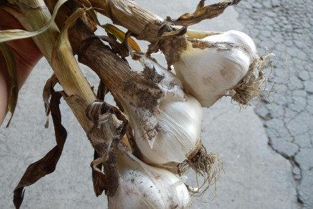 にんにく(大蒜)追肥 生育後半の管理 玉肥大、収量アップ、品質向上