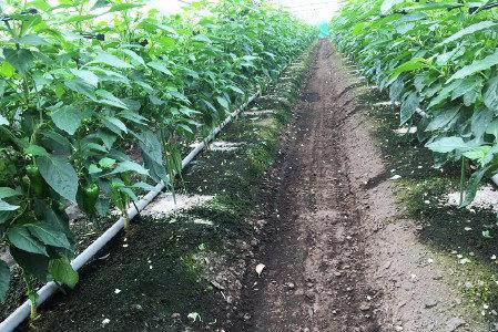 ピーマン 活着促進、発根促進・土壌改善(健全育成、土壌病害対策)