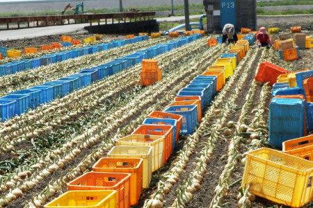 たまねぎ(玉葱)追肥 生育後半の管理 玉肥大、収量アップ、品質向上、べと病等の病害予防