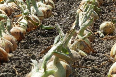 たまねぎ(玉葱) 健全育成、発根促進、収量増加(増収)、果肉充実