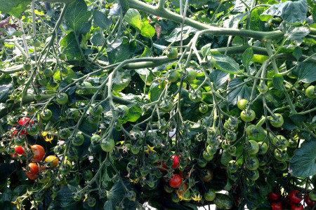 トマト・ミニトマト 活着促進、発根促進・土壌改善(健全育成、土壌病害対策)