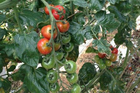 トマト・ミニトマト 葉カビ・灰色かび・うどんこ病対策