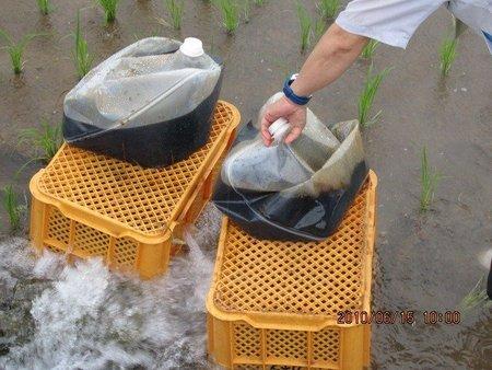 水稲の藻(アオミドロ)対策事例1