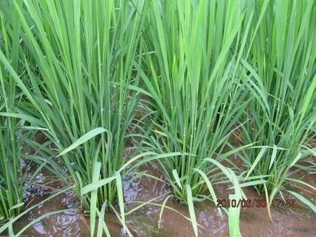 水稲栽培事例 菌力アップ+鈴成で田んぼの変化がはっきり