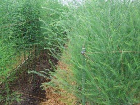 アスパラガス 栽培基準