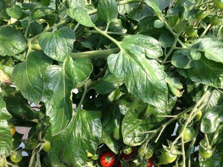 ミニトマト 減農薬、増収事例