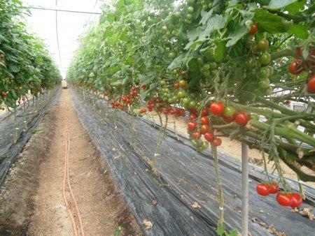 ミニトマトの食味向上(糖度アップ)、増収事例