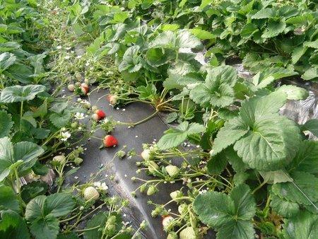 植物酵素+リン酸でイチゴ栽培(コーソゴールド導入事例)