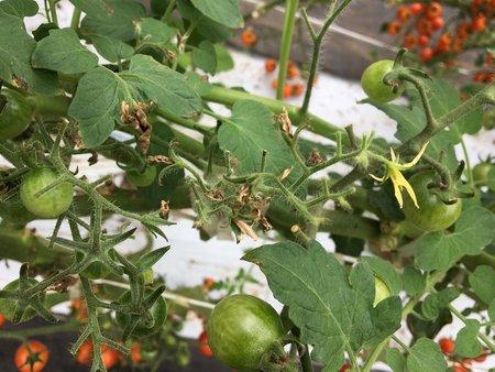ミニトマト チップバーン(カルシウム欠乏症)対策事例