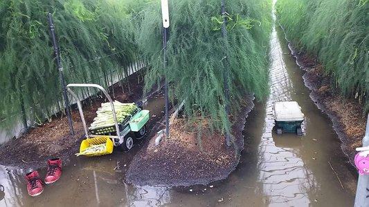 アスパラガス 水害からの回復事例