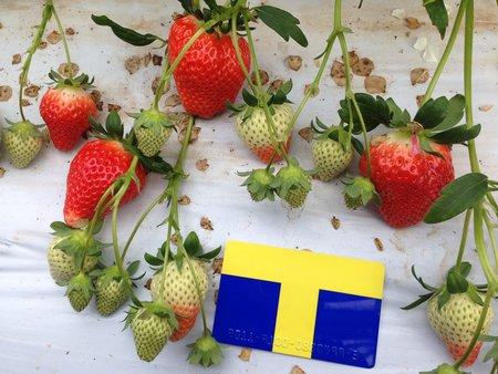 イチゴ作り2年目で特選規格に。不耕起栽培での導入事例