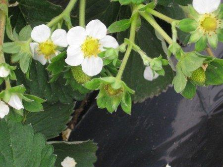 増収事例 イチゴ栽培が面白い!