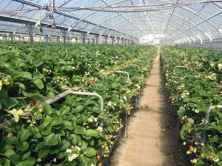 福岡式高設ベンチのイチゴ栽培 増収事例