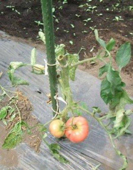 トマトの連作障害(青枯病)対策事例