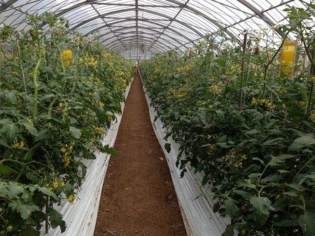 ミニトマト一斉開花、減農薬、増収事例