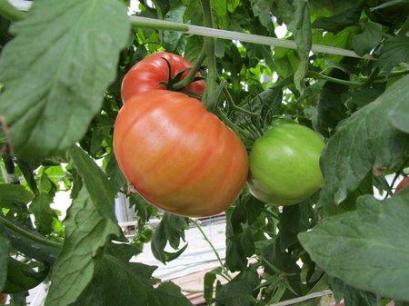 トマト 塩類障害対策、増収事例