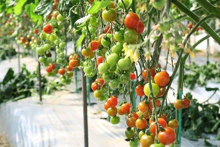 促成栽培トマト・ナス・ピーマン 栽培基準
