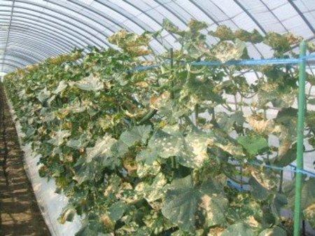 キュウリ栽培 べと病・うどんこ病・菌核病からの回復事例