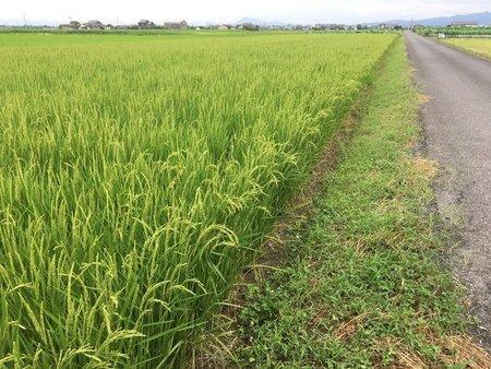 前作のガスわきを解消した田んぼ。稲の姿が確かに違う。