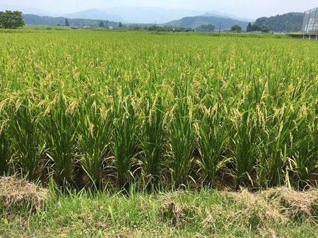 水稲栽培、くず米が減る不思議