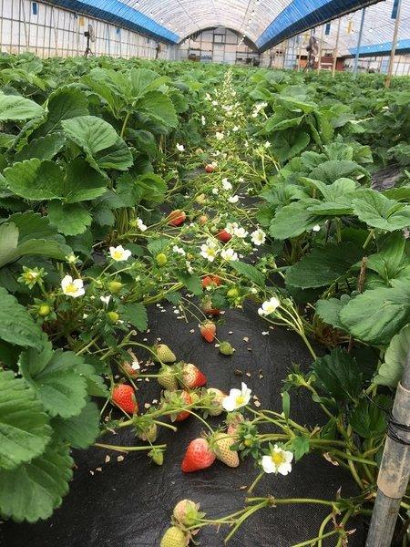 イチゴ「萎黄病」を乗り越え、一気に躍進!