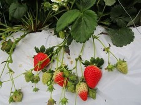 毎年安定の収穫!コーソゴールドで失敗しないイチゴ作り!