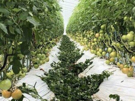 鈴なりのトマト栽培-圧巻!「成功率100/100は珍しい。鼻が高いですよ!」